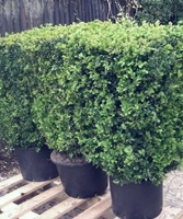 80cm tall instant box hedging