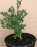 Buxus  `Green Gem` Plant