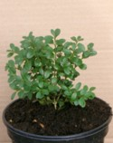 Buxus  `Green Mountain` Plant