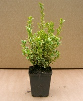 Buxus microphylla 'Golden Triumph' hedging plants