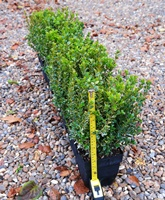 Golden variegated instant box hedging (buxus microphylla 'Golden Triumph')
