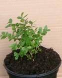 Buxus microphylla `Henry Hohman` Plant