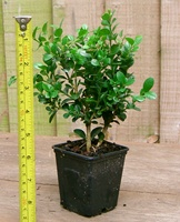 Buxus microphylla 'Faulkner' Hedging Plants