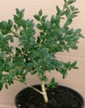 Buxus microphylla var. japonica `Green Jade` Plant