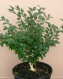 Buxus sempervirens `Harewood` Plant