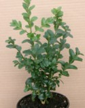 buxus sempervirens 'Rotundifolia' hedging plants