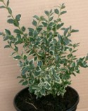 Buxus sempervirens `Silver Beauty` Plant