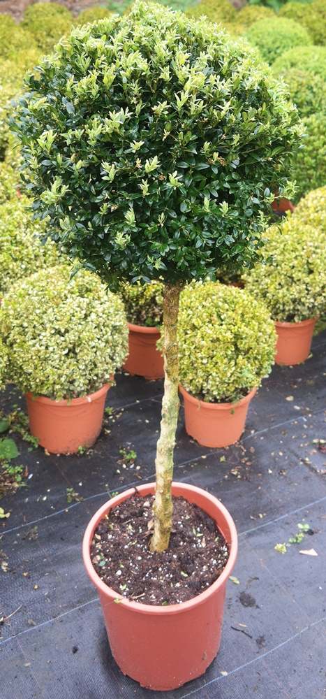 Buxus sempervirens Standards Topiary Plants