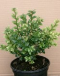 Buxus sempervirens Unknown Variety Plant