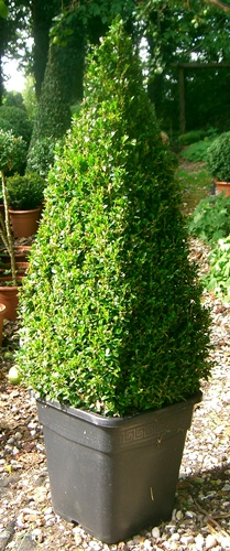 Buxus sempervirens pyramid topiary plants