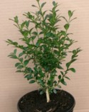 Buxus sinca var. insularis `Wintergreen` Plant