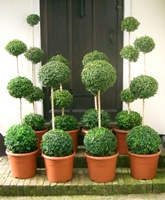 Buxus sempervirens Standards