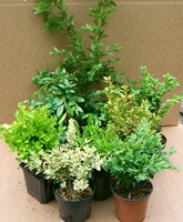 Other Varieties of Buxus Hedging Plants