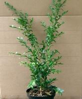 Buxus sempervirens `Raket` Plant