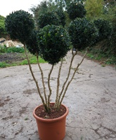 Buxus sempervirens multi stem topiary plants