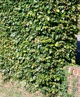 Carpinus betulus (common hornbeam) Hedging Plants