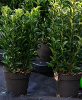 Euonymus japonicus 'Microphyllus' hedging plant