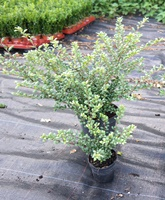Ilex crenata 'Convexa' (small leaved japanese holly) Hedging Plants