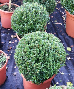 Ilex crenata 'Dark Green' topiary balls