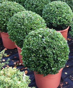 Ilex crenata 'Dark Green' ball 30cm diameter in 7.5 litre pot