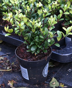 Ilex crenata 'Dark Green' Hedging Plants