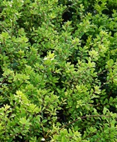 Ilex crenata 'Blondie' (small leaved japanese holly) Hedging Plants