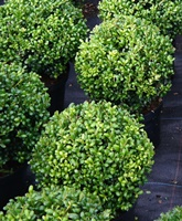 holly ilex hedging and topiary plants for sale. Black Bedroom Furniture Sets. Home Design Ideas