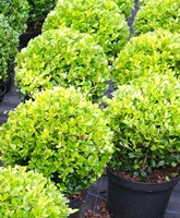 Ilex crenata 'Golden Gem' topiary balls