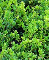 Ilex crenata 'Green Hedge' (small leaved japanese holly) Hedging Plants