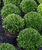 alternatives to box buxus hedging and topiary plants for. Black Bedroom Furniture Sets. Home Design Ideas