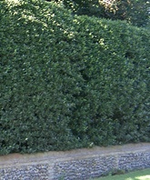 Ilex aquifolium (common holly) hedge