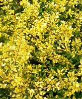 Ilex crenata 'Golden Gem' hedging plant
