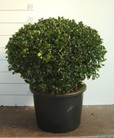 Ilex meserveae 'Blue Angel' ball 60-70cm diameter
