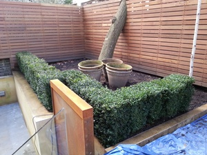 Buxus sempervirens instant hedging plants 70cm tall x 40cm wide