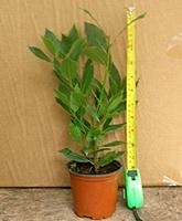 Bay tree plants