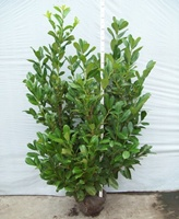 Buxus sempervirens (common box) Hedging Plants