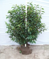 Portugal laurel (prunus lusitanica 'Angustifolia') root balled hedging plant 80-100cm tall