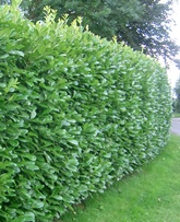 Buxus sempervirens Hedging Plants