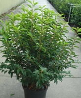 Portugal laurel (prunus lusitanica 'Angustifolia') hedging plant 60-80cm tall in 12 litre pot