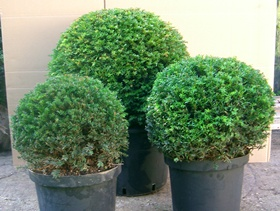 Yew topiary balls in containers