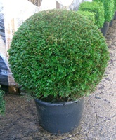 Taxus baccata ball 75-80cm diameter in a container