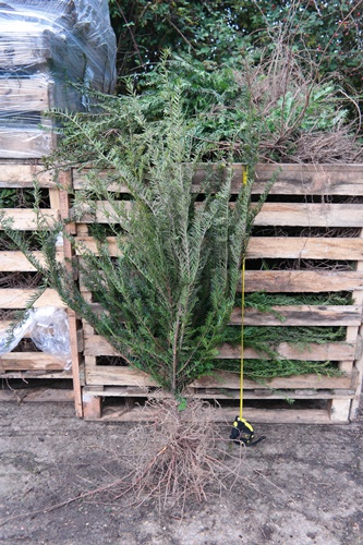 Taxus baccata hedging plants bare root