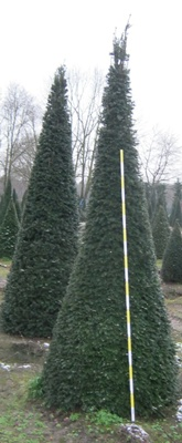 Taxus baccata (common yew) topiary cones