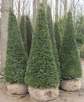 Taxus baccata cones 275-300cm tall root balled