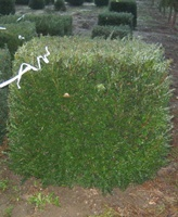 Taxus baccata cube with 80-100cm sides