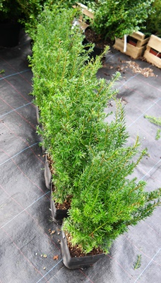 Taxus baccata instant hedging unit