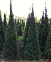 Taxus baccata pyramids 200-225cm tall growing in a field
