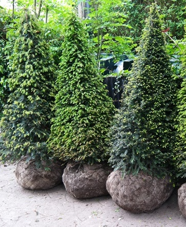 Taxus baccata (common yew) topiary pyramids