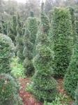 Common yew (taxus baccata) spirals
