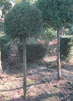 Taxus baccata standards with 100-110cm stem and 50-60cm diameter head